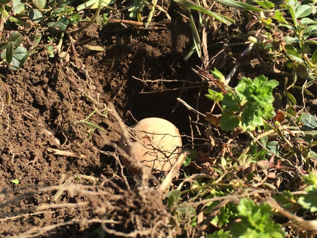 種芋を埋める