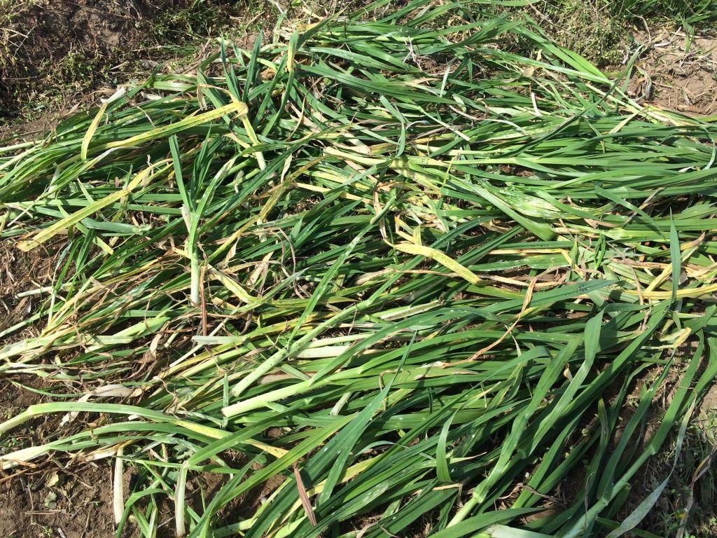種降ろしをし、保湿用に草をかぶせたところ