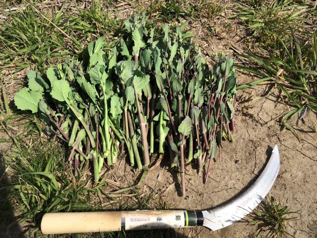 収穫したのらぼう菜(最大のもので35.0cm)
