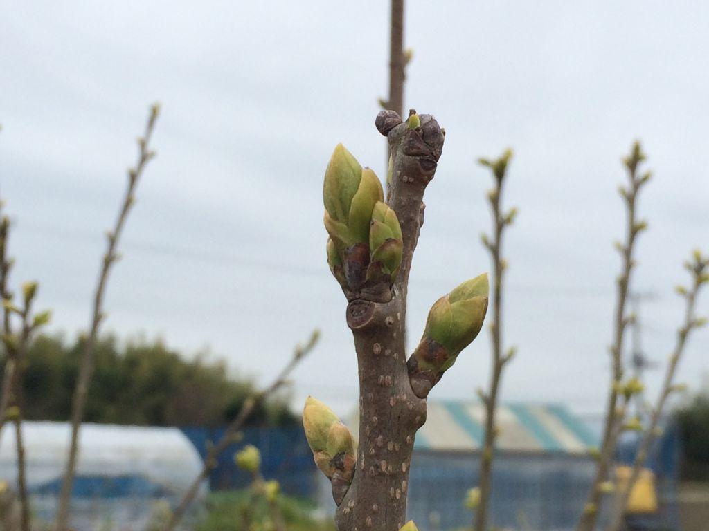 芽吹き始めた柿の木