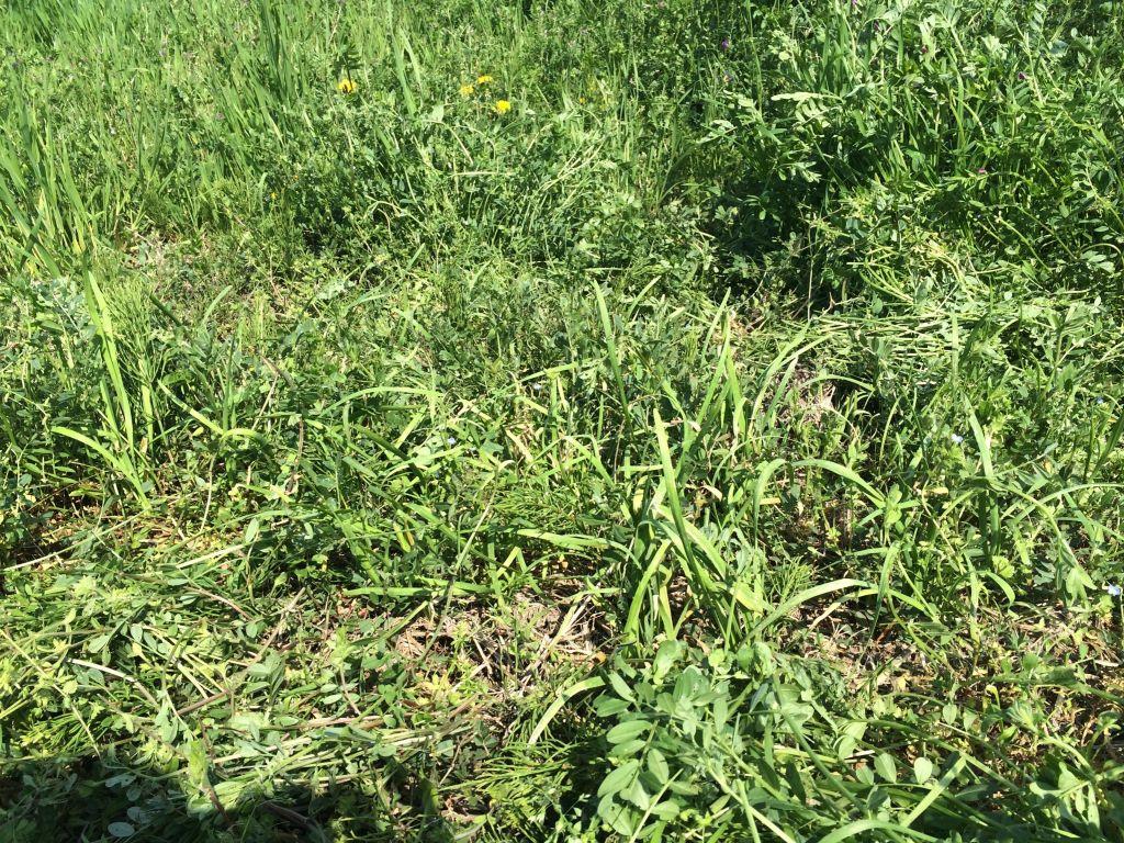 草刈り後のニラ