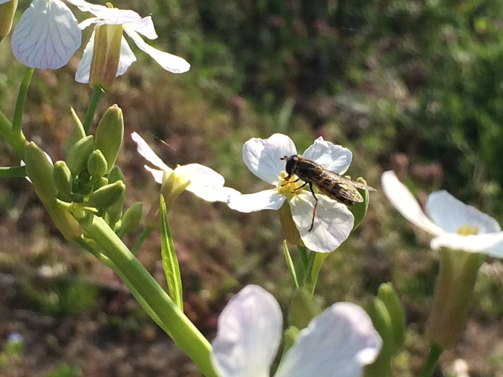 大蔵大根の花に蜂(あぶ?)