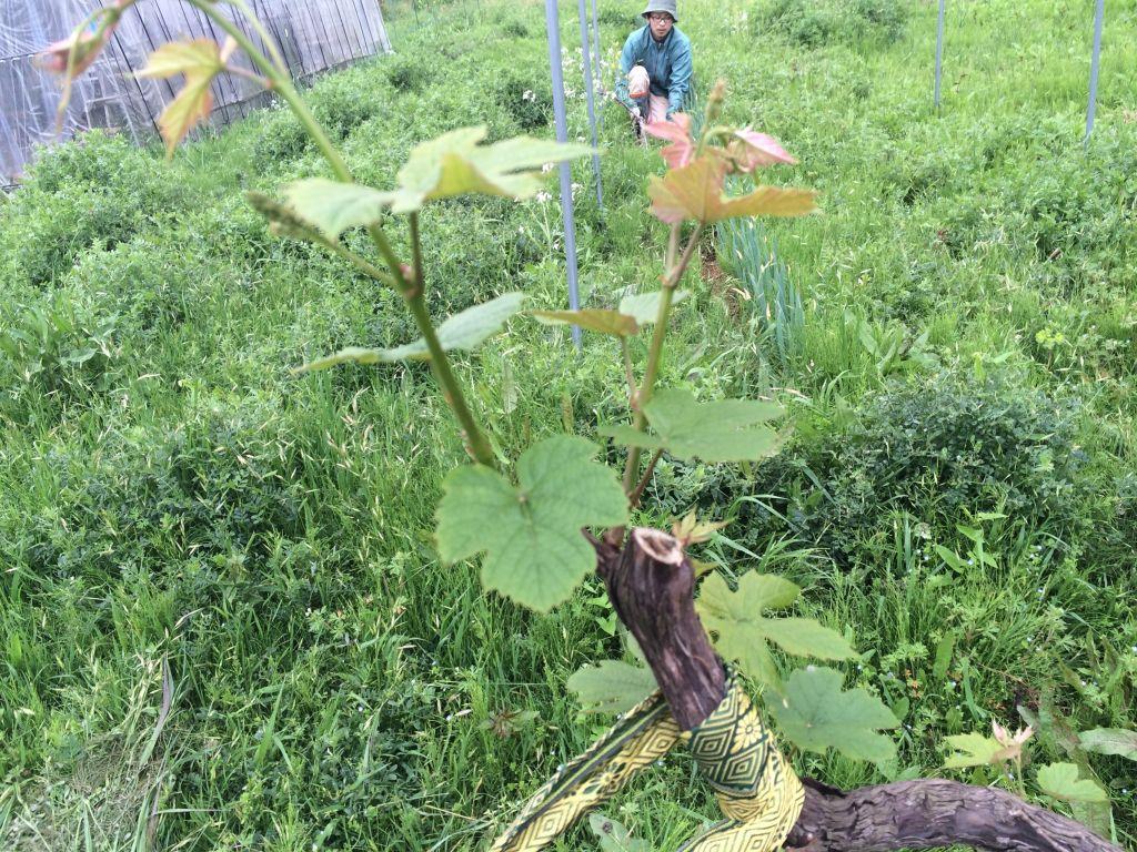 移植したぶどうの木
