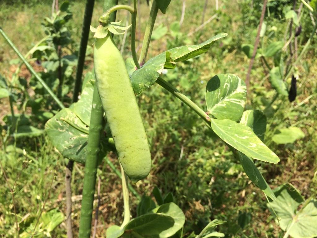 ツタンカーメンエンドウに緑色の豆