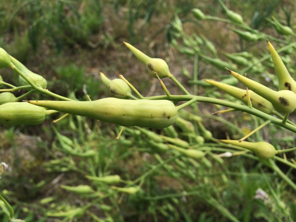 大蔵大根の種