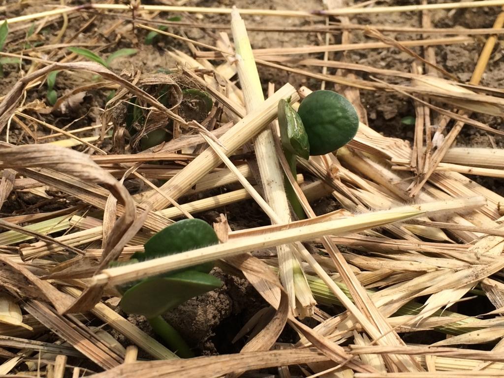 三河島枝豆