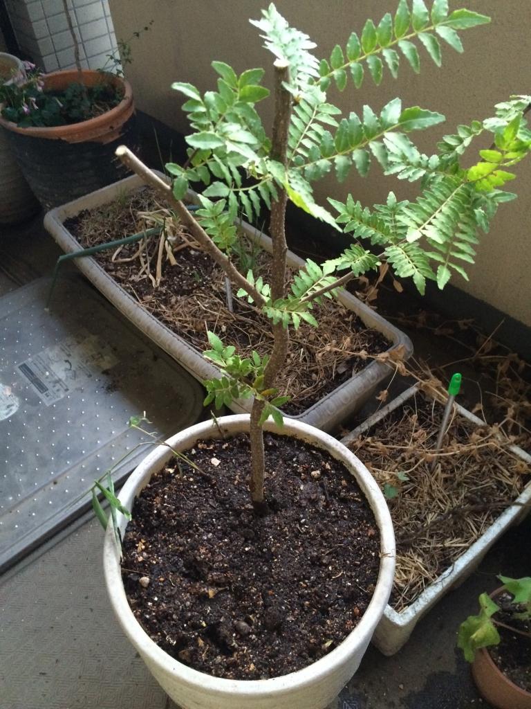 鉢植えした山椒の木