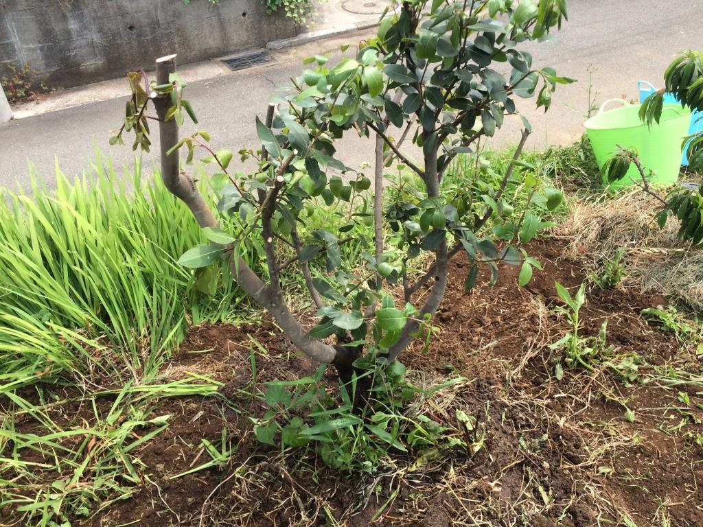 月桂樹の木を引越したところ