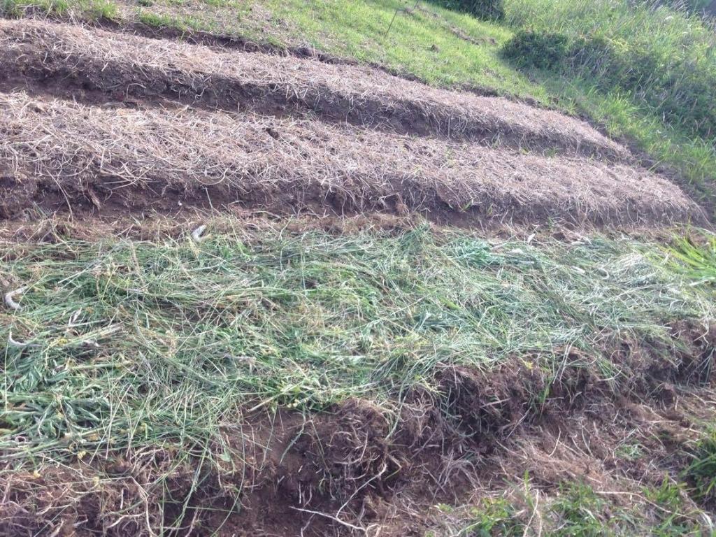 もちきびを植えた畝